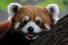 red panda - Αναζήτηση Google