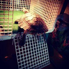 Large Turtle Tower Above tank basking area turtle Basking Turtle Tank Accessories, Aquarium Accessories, Turtle Care, Pet Turtle, Turtle Basking Platform, Turtle Dock, Turtle Habitat, Turtle Swimming, Tower