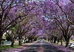 jacaranda trees-guru4gardens.com