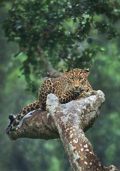 The Beauty of Wildlife - Leopard by © shaazjung - Nature Animals, Animals And Pets, Baby Animals, Cute Animals, Wild Animals, Beautiful Cats, Animals Beautiful, Animal Kingdom, Big Cats