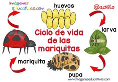 Ciclos vitales para niños  (4) Crafts For 2 Year Olds, Bilingual Education, Life Cycles, Anchor Charts, Lesson Plans, Science, Activities, Creative, Ideas Para