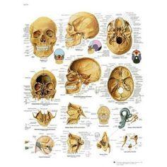 Planche anatomique Le crâne humain VR2131L
