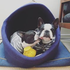 All About Bright Boston Terrier Puppies Grooming Terrier Breeds, Terrier Puppies, Bull Terrier Dog, Bulldog Puppies, Dog Breeds, Mastiff Dogs, Terrier Mix, Boston Terrier Temperament, Ying Y Yang
