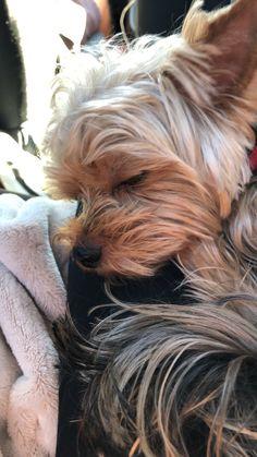 Silky Terrier, Yorkies, Little Dogs, Love People, Yorkshire Terrier, Cute Puppies, Hearts, Friends, Sweet