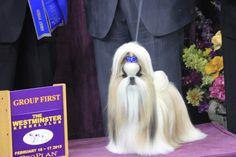Shih Tzu winner of Toy Categoery, Westminster 2015