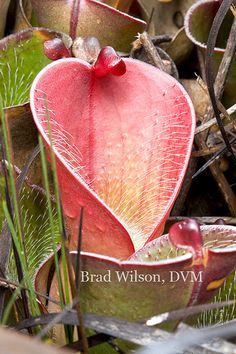 "Heliamphora pulchella, Marsh or Sun Pitcher Plant, plant A, tepui ""B"", Canaima National Park, Bolivar State, Venezuela | Flickr - Photo Sharing!"