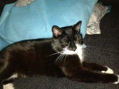 05 juni 2014 Capri, gesteriliseerde #kattin, niet gechipt. Ze is  #vermist en wordt enorm gemist. Ze is klein en fijn en beetje mensenschuw maar niet agressief. Ze is zoek geraakt ter hoogte van de Hoogkamerstraat te #SintNiklaas KattenopvangWaasland https://www.facebook.com/KattenopvangWaasland vr evy
