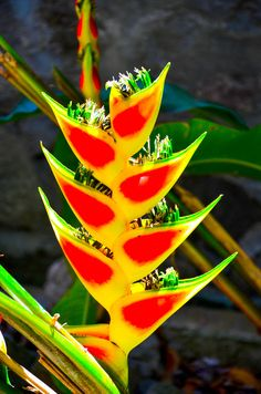 Rainforest Flower Saint Lucia  I like the bright, vibrant colors on the leaves