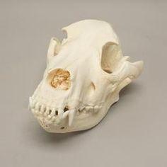 WOK-5337: Domestic Dog Skull - Mastiff  (Natural Bone)