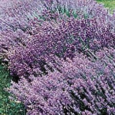Hardy Lavendar: Even the foliage smells sweet! Forms neat, grayish-green mounds, 15-20 inches high, dotted with purple flowers from early summer to frost. A favorite for sachets and potpourri. Best in full sun. Bareroot. Zones 4-9.