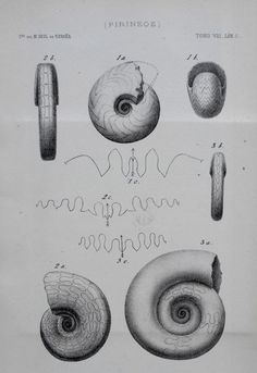 1881 Fossil Shells from the Pyrenees Mountains. Goniatites, Amigdaloides. Drawn by Teresa Madassu. Original Lithograph by Pfeiffer of Madrid