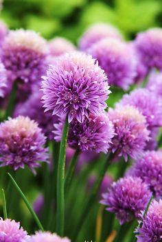 Purple chives by shilohrachelle