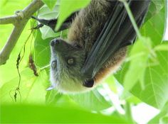 Samoan Flying Fox - AustralasianBatSoc. (AusBats) on Twitter