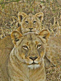 Lioness and her cub in the South African bush.