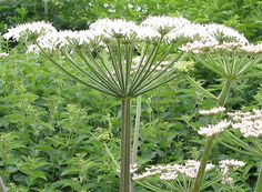 Angelica (Angelica Archangelica) - Associations: Sun, Leo, also Atlantis, the Archangel Michael - Known as a 'Bringer of Light', Angelica is unsurprisingly associated with Angels and Angelic forces. An immenesely powerful herb of protection, it is said to work in two distinct ways by 1) creating a barrier against negative energy and 2) filling the person or object with an abundance of good, radiant energy. A guardian herb.