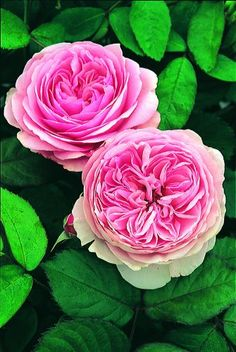 I love this variety of rose, it is named geoff hamilton.