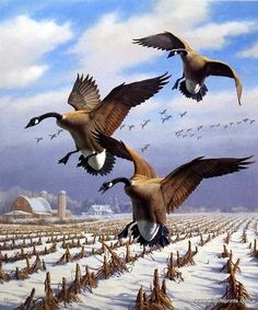 """A flock of geese head toward a harvested cornfield in the David Maass print WINTER WONDER-CANADA GEESE. """"Prevalent throughout North America, most Canada geese are found in northern climates throughout"""