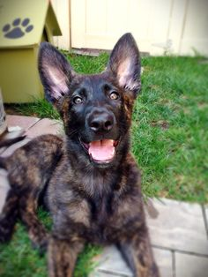 Beautiful Dutch Shepherd