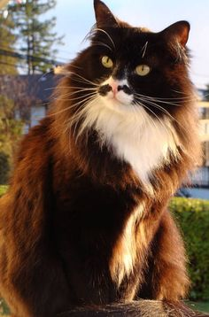 Tuxedo Cat- love these facial markings ~ Love the brown... much more unusual than black. Don't know if the brown disqualifies him for the Tuxedo Cat label, however...