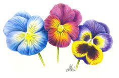 © Angelika Stein www.angies-kartenshop.de Farbstiftzeichnung mit Prismacolor® Farbstiften.