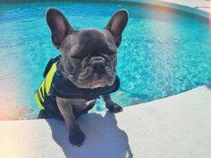 Vote for Henry for the Cutest Frenchie in NYC! Hell get featured in the Show at Bryant Park in NYC on Sept. 28 and French Bulldog Rescue Network will also be there with a kissing booth. French Bulldog Rescue Network, Animals And Pets, Cute Animals, Animals Planet, Peeing In The Pool, Little Swimmers, Bulldog Pics, Summer Dog, Dog Training