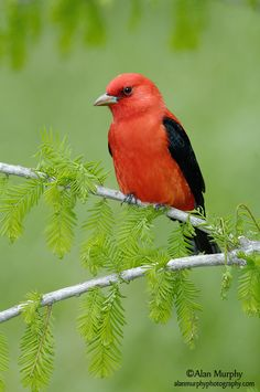 The Scarlet tanager (Piranga olivacea) is a medium-sized American songbird.  Male.