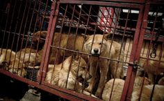 This is an exhaustive list of links and petitions that you can sign and share to help end the horrendous practice of dog and cat meat consumption in S. Korea. Thousands of people are actively working to help make a dent in this cruell and torturous industry that causes some of the most intense suffering imaginable for animals and is also predatory and deceptive towards the respective communities there that are poor and uneducated in terms of their pets and spay and neutering. Please HELP…