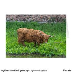 Highland cow blank greeting card