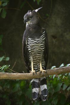 Black Hawk Eagle (Spizaetus Tyrannus) at the Zoo in Guyane.