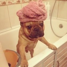 French bulldog. Omggggg, so cute.