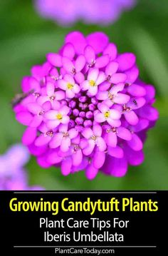 Candytuft (Iberis Umbellata) delightful flower for a balcony, and along borders. Lots of long lasting flower shades purple-red, pink, white. Fast Growing Plants, Growing Flowers, Planting Flowers, Cut Flowers, Flower Gardening, Purple Wedding Flowers, Lavender Flowers, Edging Plants, Flower Aesthetic