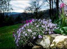 Grown easily over rocks and in tough soil conditions, creeping phlox, a perennial, presents a carpet... - istockphoto.com