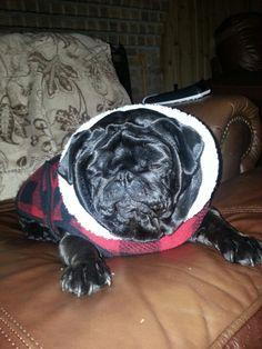 Holiday pug