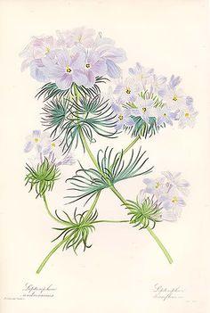 1837 - Antique print: Californian annuals - Leptosiphon androsaceus - USA - California