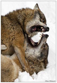 Grr wolf fight!