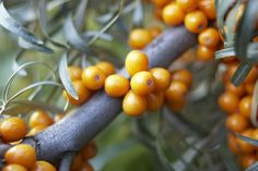 Learn what sea buckthorn is and what its purported benefits are. Discover possible side effects and where you can find this medicinal plant in stores. Royal Jelly Benefits, Benefits Of Berries, Micro Nutrients, Bowl Of Cereal, Essential Fatty Acids, Essential Oils, Medicinal Plants, Herbal Medicine, Superfoods