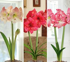Amaryllis Pretty in Pink Collection, three bulbs in green eco pots