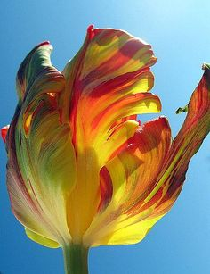 Parrot tulip - by Tante Bluhme. Emmalie & I discovers Parrot Tulips at the Seattle's Pike Place Market and fell in love. Parrot Tulips, Tulips Flowers, Exotic Flowers, Daffodils, Yellow Flowers, Spring Flowers, Planting Flowers, Beautiful Flowers, Roses