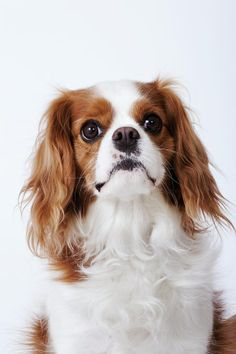 Cavalier King Charles spaniels has high-spirited personalities and can instantly charm even the hardest heart. They are highly adaptable in their need for exercise, which is great for families who like to get out and play but they also like a little rest and relaxation. Smart dogs, obedient and generally quite eager to learn. Easy to maintain, requiring little more than weekly brushing to keep them looking great.
