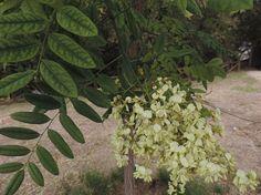 Robinia pseudoacacia. http://www.elhogarnatural.com/Arboles.htm