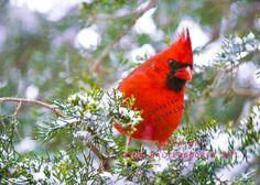 Red Cardinal Bird snow pine tree red by GinaWaltersdorffArt
