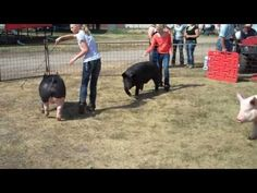 4 H Swine Showmanship - YouTube