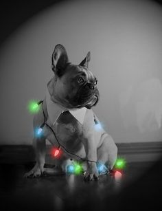 French Bulldog Christmas, via Flickr.