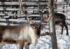 Reindeer in Pello, Lapland, Finland