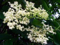 First in season we have the the flowers of the Black Elderberry, Vlierbes (NL), Fleurs de sureau (FR) medicinal as well as tasty. From Champagne, wine, sirup to a surprising and beautifull tempura companion. Elderberry Honey, Elderberry Flower, Elderberry Plant, Fruit Plants, Edible Plants, Herb Farm, Herb Garden, Indoor Garden