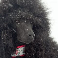 Standard poodle in snow storm