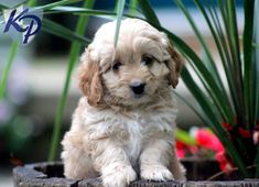Keystone Puppies has a puppy finder feature setting you up to find and buy a dog perfect for your home. Poodle Mix Puppies, Cute Puppies, Puppies For Sale, Dogs And Puppies, Cocker Spaniel Mix, Puppy Finder, Buy A Dog, Cockapoo, My Animal