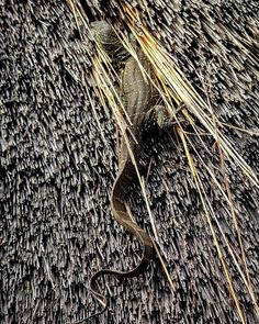 Rock monitor @ ufudu hide in Weenen Game Reserve #weenen #weenengamereserve #gamereserve #bushlife #gameviewing #wildlifephotography #wildlifephoto #wildlife #natural #naturephotography #naturepics #natgeophotos #natgeo #natgeoyourshot #wildlifepics #wildlifeshots #canon_photo #canonphotography #photobug #photographer #photography #wildlifephotographer #thisissouthafrica #southafricaza #instagramza #instagramsa #pixel_panda #lovemkhuze #loves_southafrica