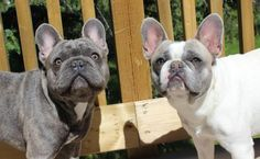 Blue Brindle Frenchie & Blue Fawn/Lilac Pied Frenchie