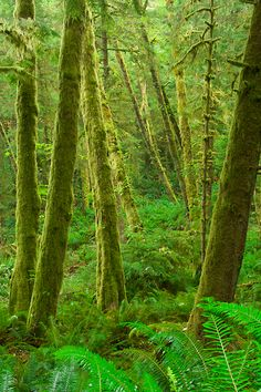 Photo of a mature forest in Ecola State Park along the coast of Oregon. Exquisite, Oregon, landscape photographs by outdoor photographer Andy Cook available for purchase and stock use. Bryce Canyon Utah, Oregon Forest, Ecola State Park, Valley Of Fire, Us Road Trip, Oregon Usa, Clear Blue Sky, Cannon Beach, Us National Parks